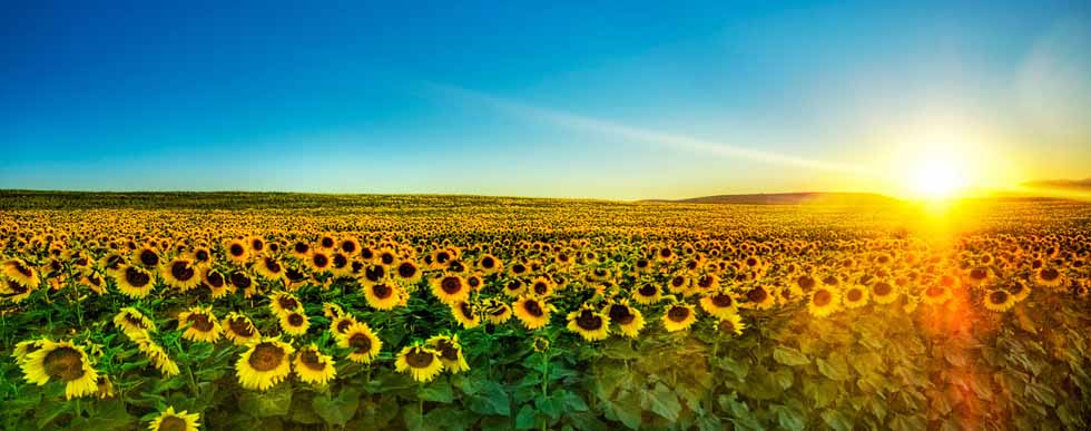 Mesothelioma Awareness Sunflowers Sunrise - What is Mesothilioma?